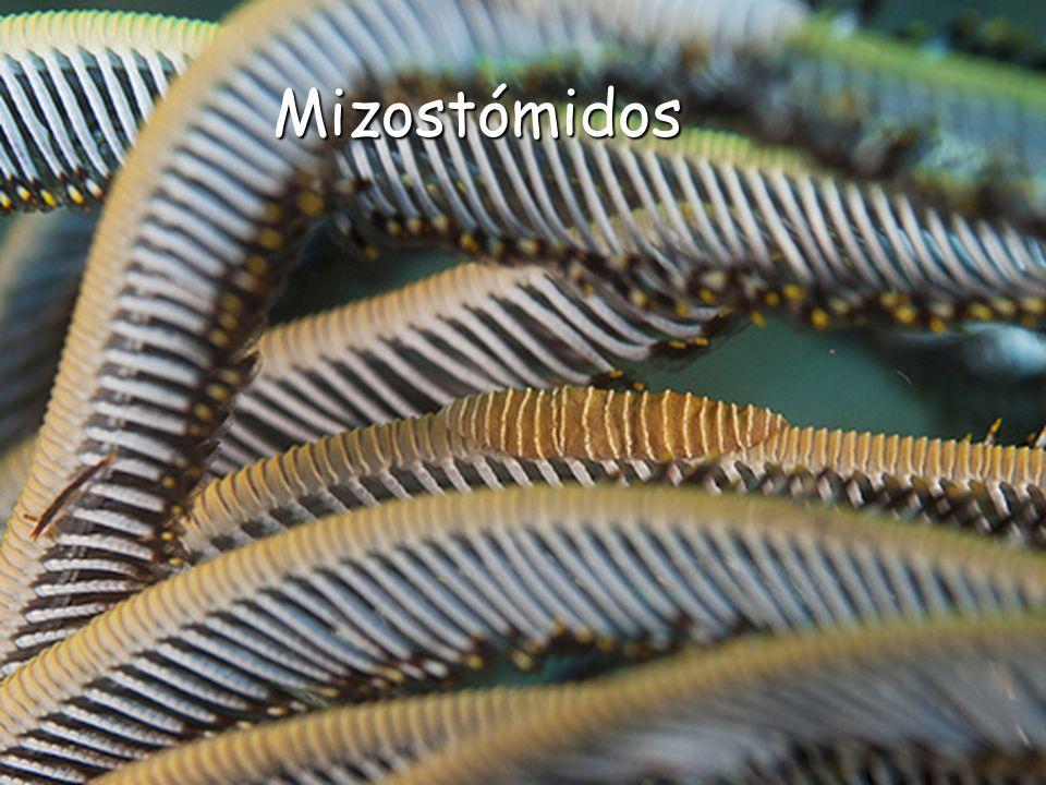 Mizostómidos