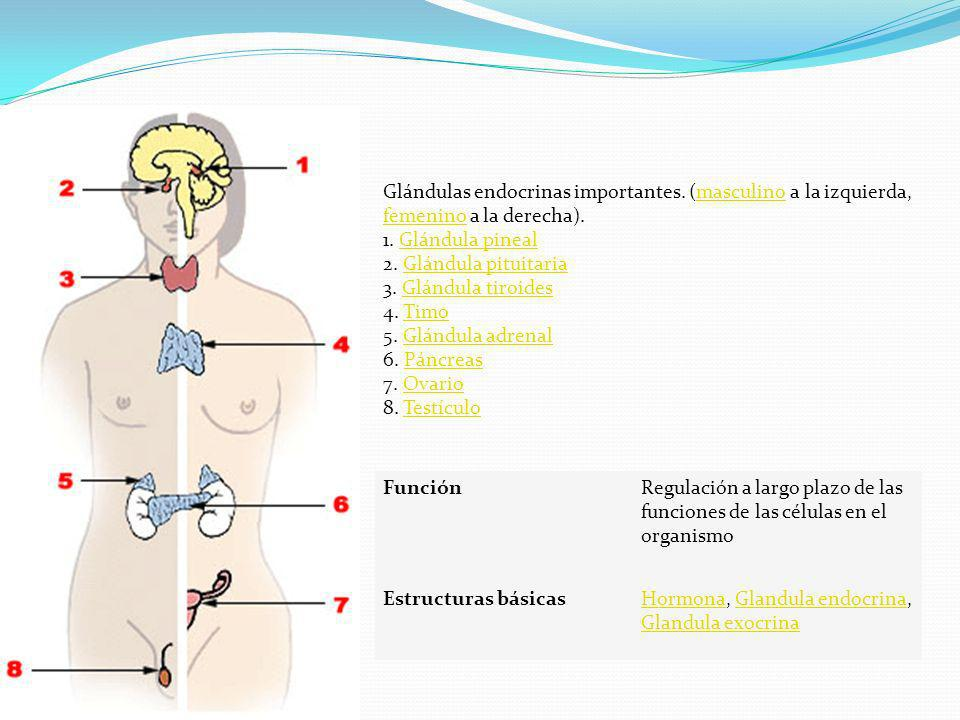 Glándulas endocrinas importantes