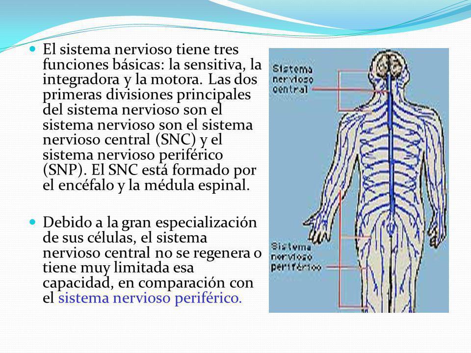 El sistema nervioso tiene tres funciones básicas: la sensitiva, la integradora y la motora. Las dos primeras divisiones principales del sistema nervioso son el sistema nervioso son el sistema nervioso central (SNC) y el sistema nervioso periférico (SNP). El SNC está formado por el encéfalo y la médula espinal.