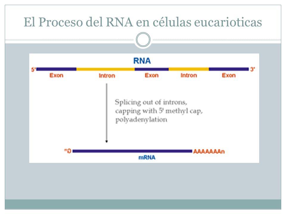 El Proceso del RNA en células eucarioticas