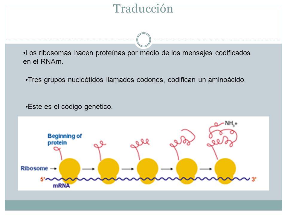 Traducción Los ribosomas hacen proteínas por medio de los mensajes codificados en el RNAm.