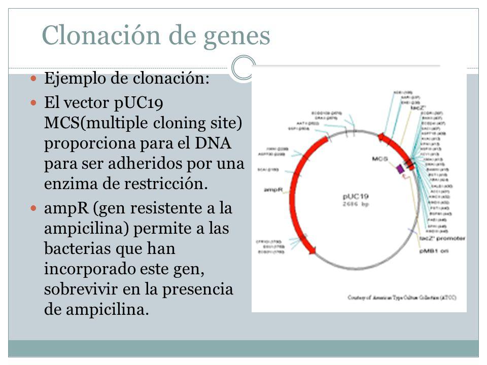 Clonación de genes Ejemplo de clonación: