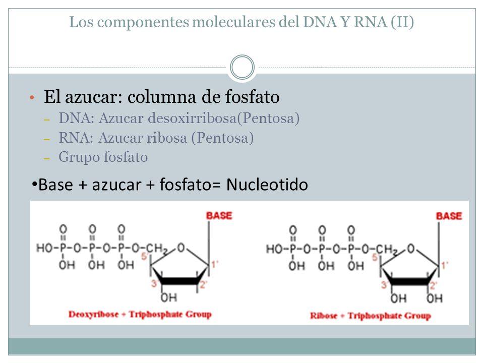 Los componentes moleculares del DNA Y RNA (II)