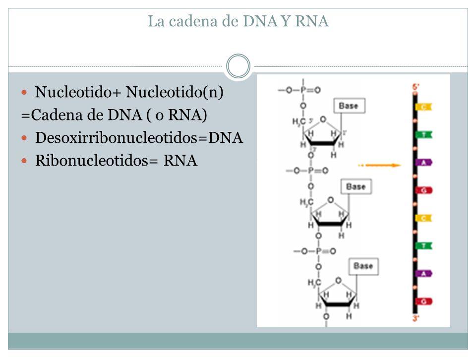 La cadena de DNA Y RNA Nucleotido+ Nucleotido(n) =Cadena de DNA ( o RNA) Desoxirribonucleotidos=DNA.