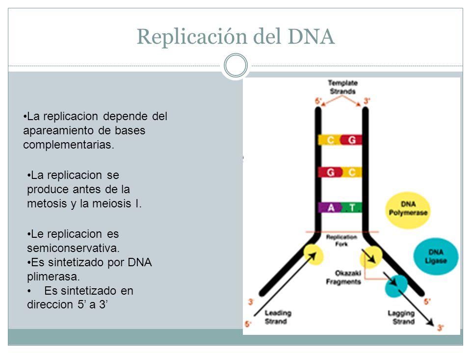Replicación del DNA La replicacion depende del apareamiento de bases complementarias. La replicacion se produce antes de la metosis y la meiosis I.
