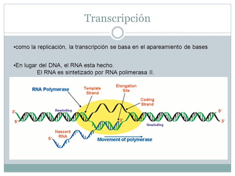 Transcripción como la replicación, la transcripción se basa en el apareamiento de bases. En lugar del DNA, el RNA esta hecho.