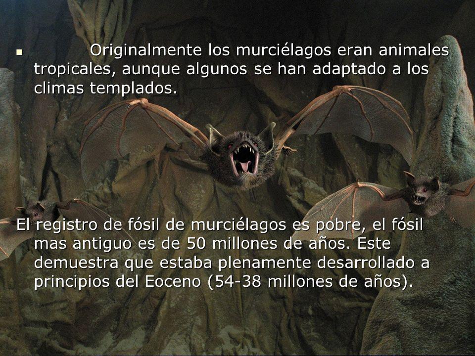 Originalmente los murciélagos eran animales tropicales, aunque algunos se han adaptado a los climas templados.