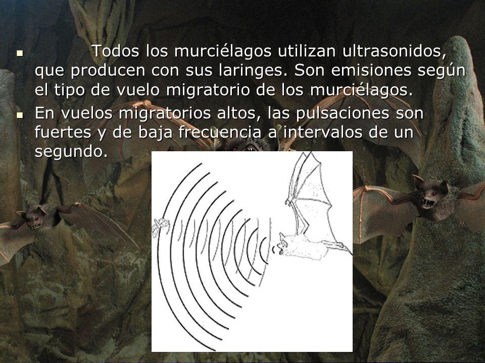 Todos los murciélagos utilizan ultrasonidos, que producen con sus laringes. Son emisiones según el tipo de vuelo migratorio de los murciélagos.