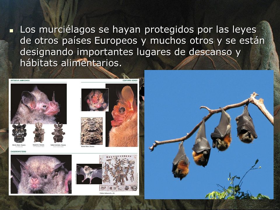 Los murciélagos se hayan protegidos por las leyes de otros países Europeos y muchos otros y se están designando importantes lugares de descanso y hábitats alimentarios.