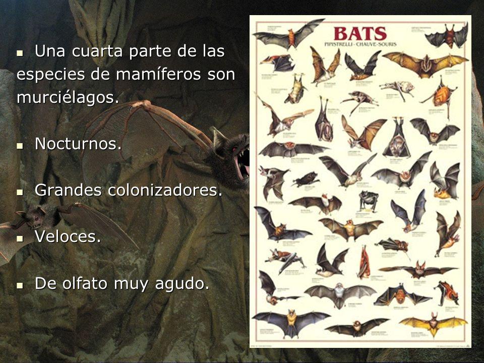 Una cuarta parte de las especies de mamíferos son. murciélagos. Nocturnos. Grandes colonizadores.