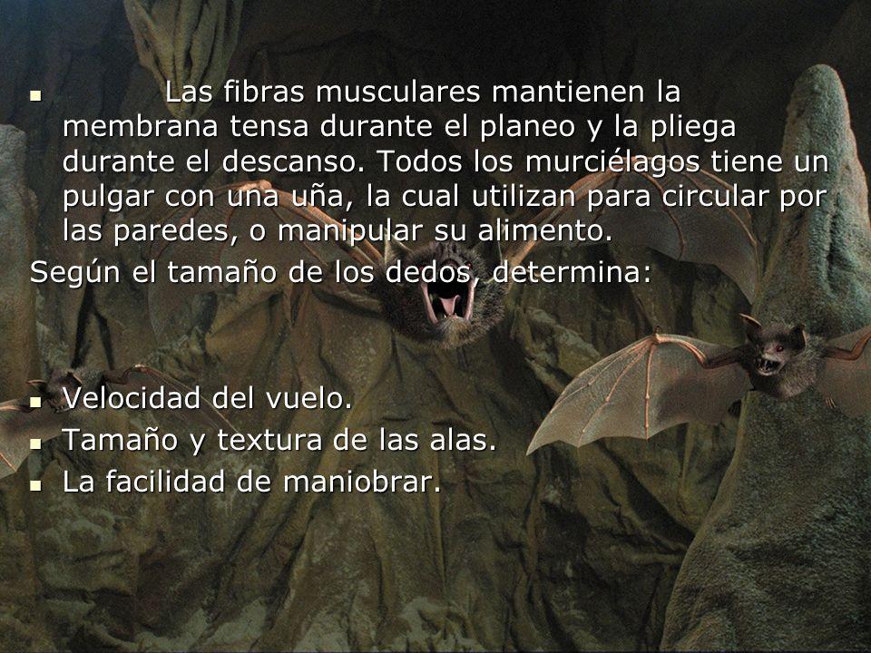 Las fibras musculares mantienen la membrana tensa durante el planeo y la pliega durante el descanso. Todos los murciélagos tiene un pulgar con una uña, la cual utilizan para circular por las paredes, o manipular su alimento.
