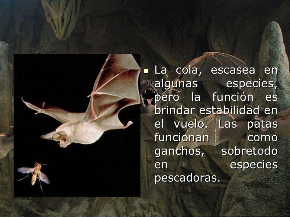 La cola, escasea en algunas especies, pero la función es brindar estabilidad en el vuelo. Las patas funcionan como ganchos, sobretodo en especies pescadoras.