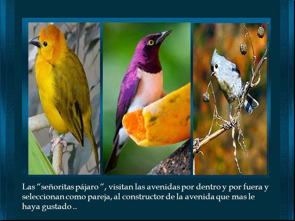 Las señoritas pájaro , visitan las avenidas por dentro y por fuera y seleccionan como pareja, al constructor de la avenida que mas le haya gustado ..