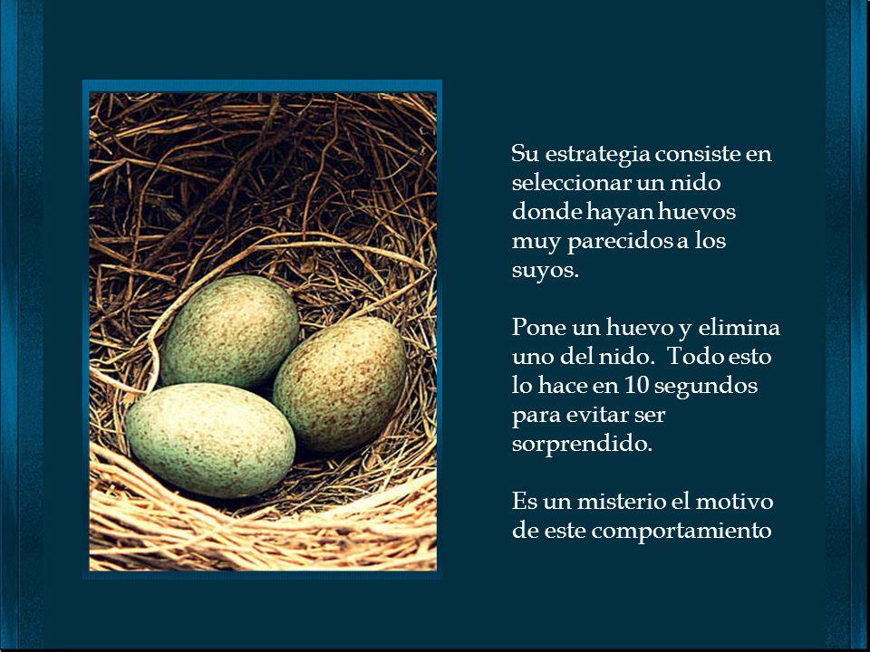 Su estrategia consiste en seleccionar un nido donde hayan huevos muy parecidos a los suyos.
