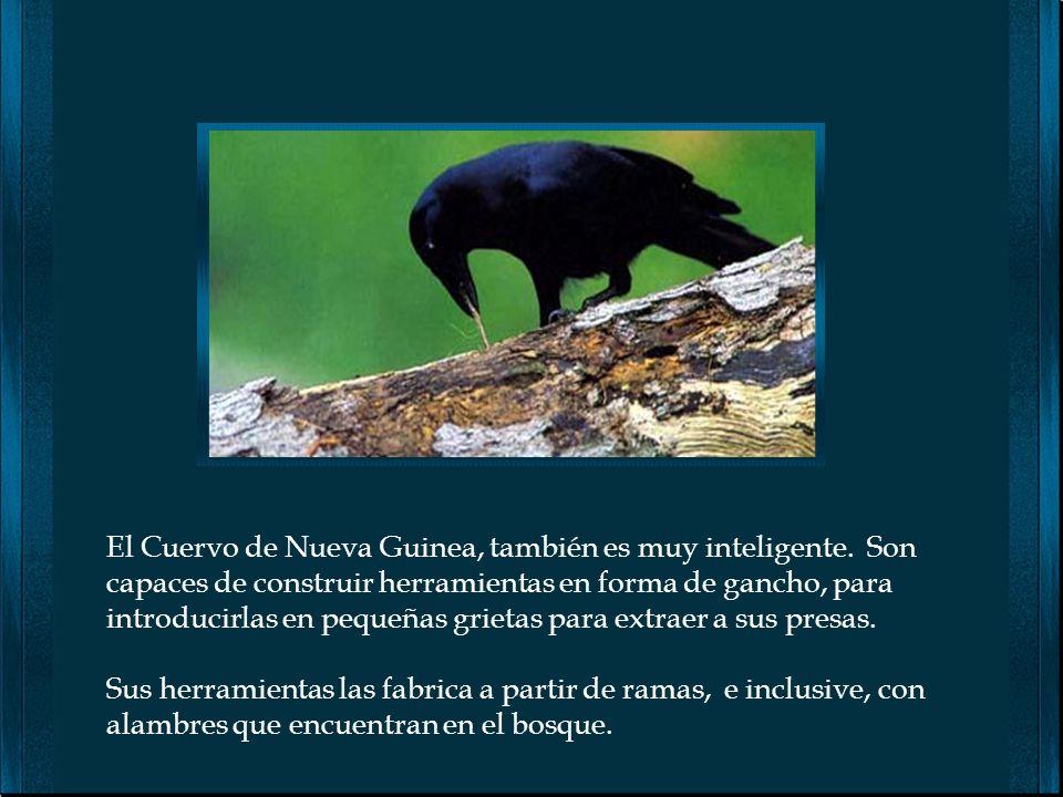 El Cuervo de Nueva Guinea, también es muy inteligente
