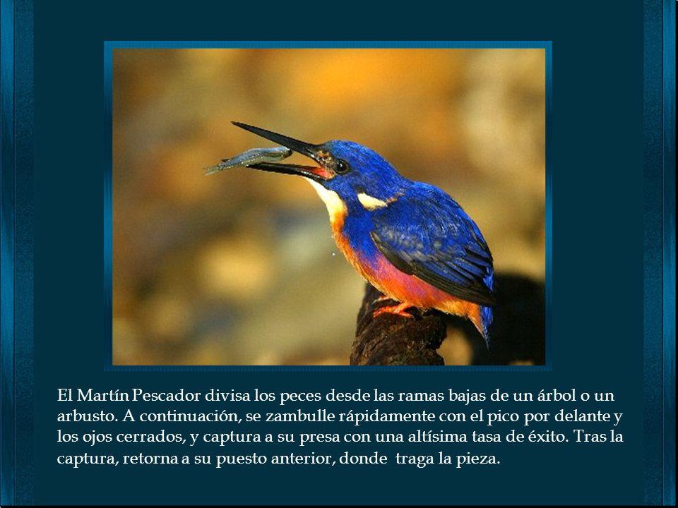 El Martín Pescador divisa los peces desde las ramas bajas de un árbol o un arbusto.