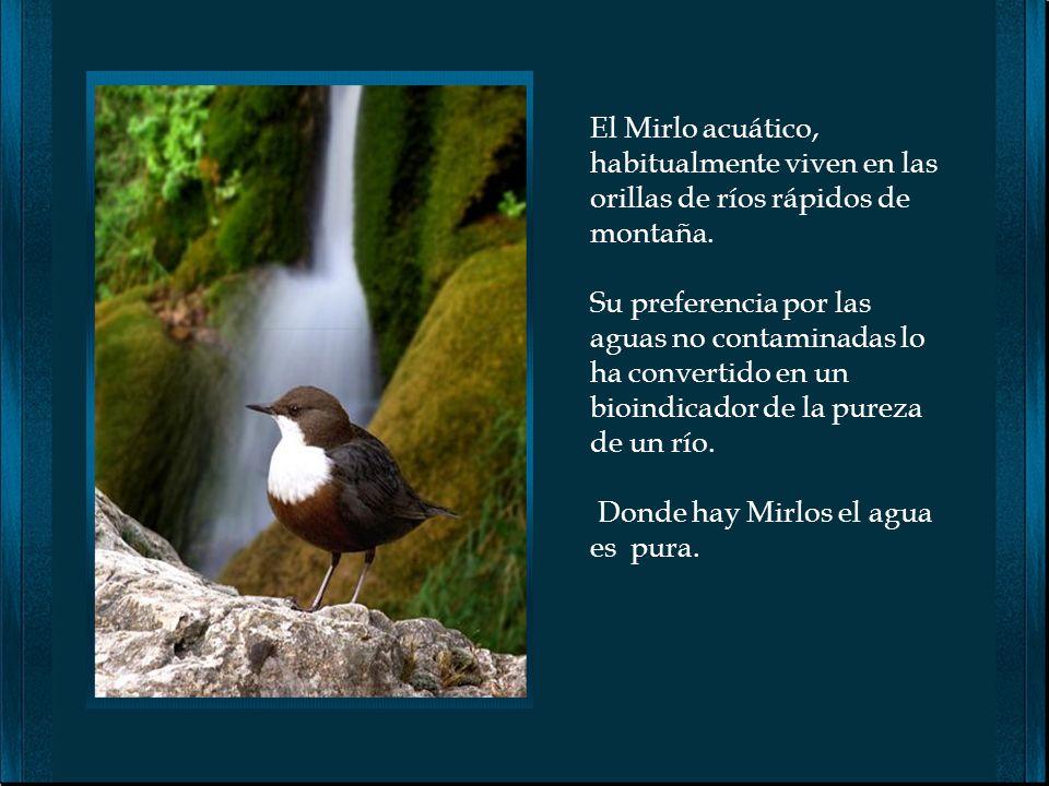 El Mirlo acuático, habitualmente viven en las orillas de ríos rápidos de montaña.