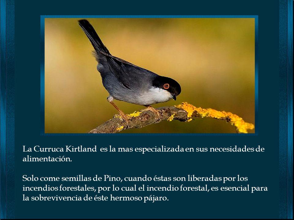 La Curruca Kirtland es la mas especializada en sus necesidades de alimentación.
