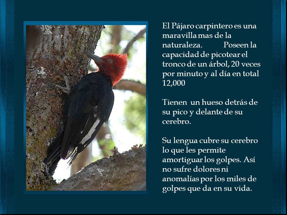 El Pájaro carpintero es una maravilla mas de la naturaleza