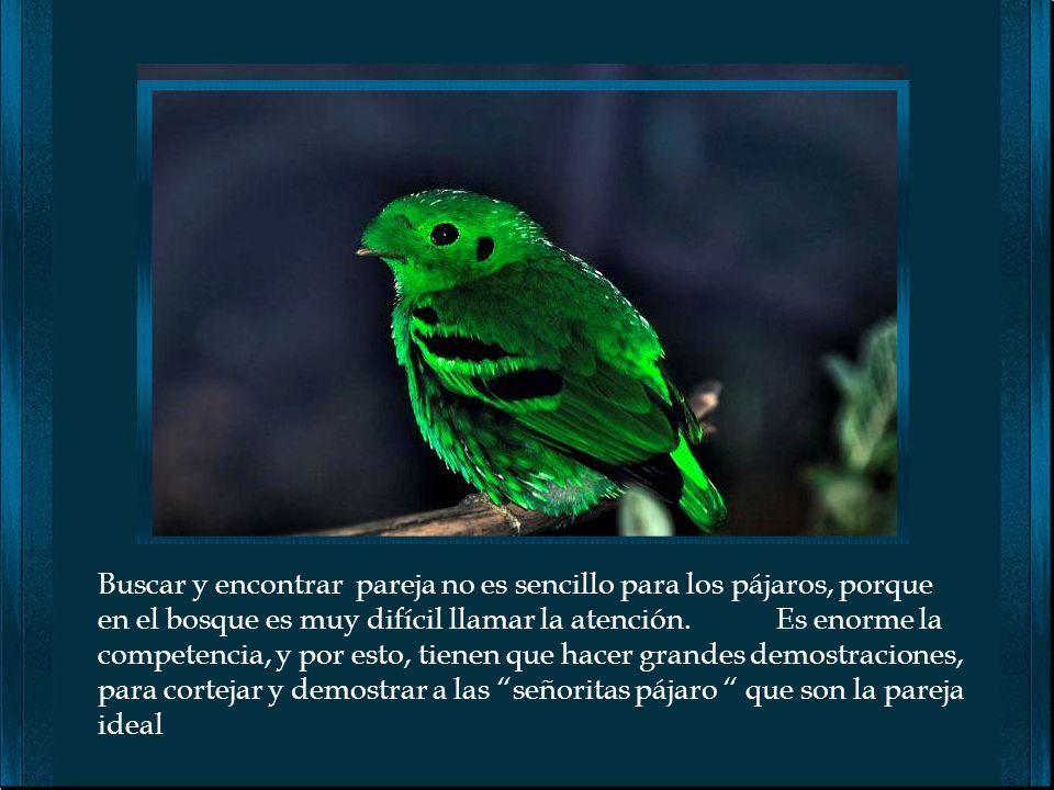 Buscar y encontrar pareja no es sencillo para los pájaros, porque en el bosque es muy difícil llamar la atención.
