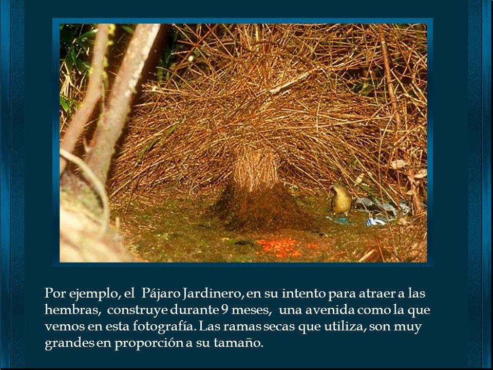 Por ejemplo, el Pájaro Jardinero, en su intento para atraer a las hembras, construye durante 9 meses, una avenida como la que vemos en esta fotografía.