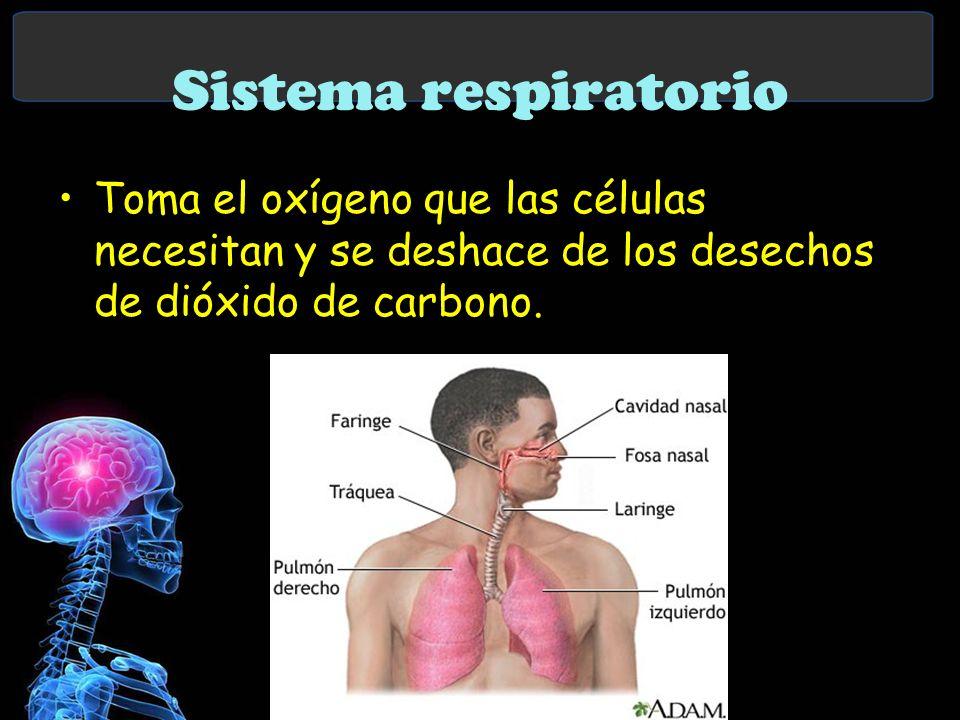 Sistema respiratorio Toma el oxígeno que las células necesitan y se deshace de los desechos de dióxido de carbono.