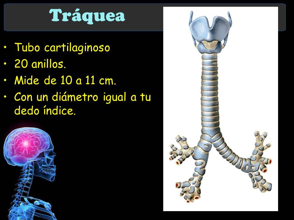 Tráquea Tubo cartilaginoso 20 anillos. Mide de 10 a 11 cm.