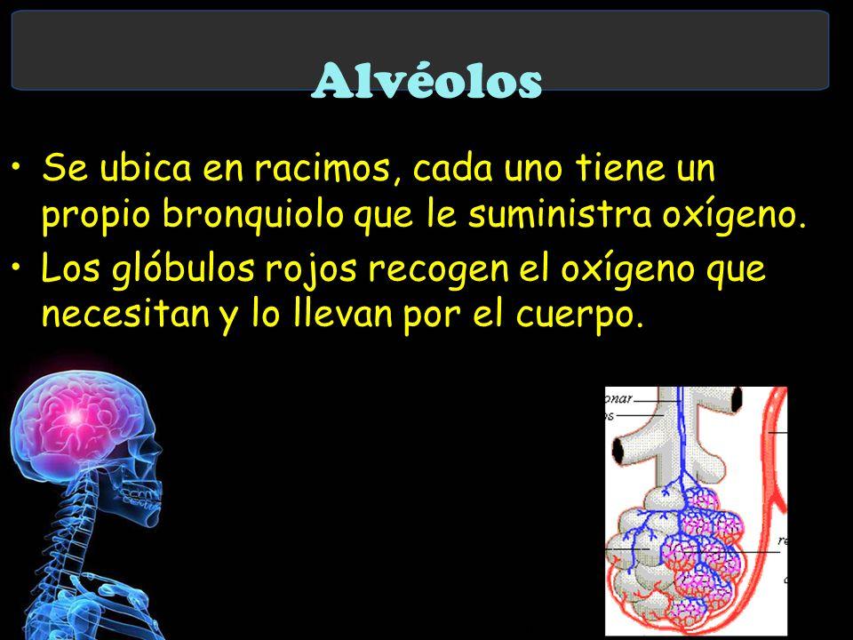 Alvéolos Se ubica en racimos, cada uno tiene un propio bronquiolo que le suministra oxígeno.