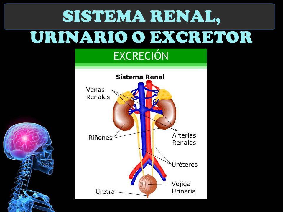 SISTEMA RENAL, URINARIO O EXCRETOR