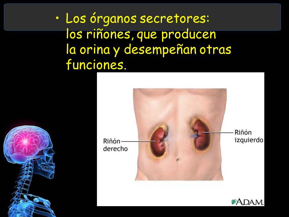 Los órganos secretores: los riñones, que producen la orina y desempeñan otras funciones.