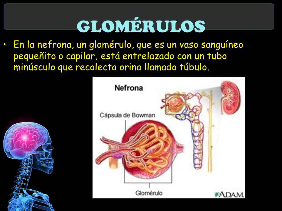 GLOMÉRULOS