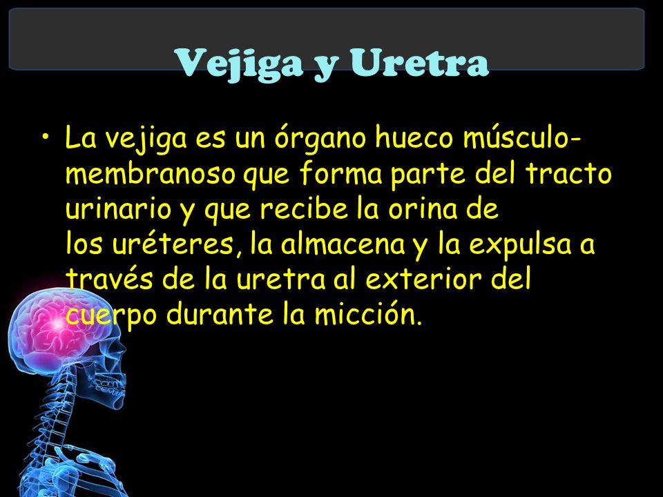 Vejiga y Uretra