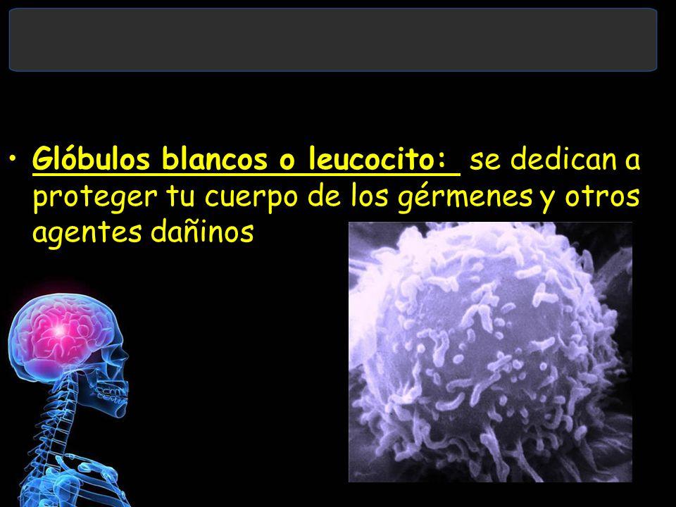 Glóbulos blancos o leucocito: se dedican a proteger tu cuerpo de los gérmenes y otros agentes dañinos