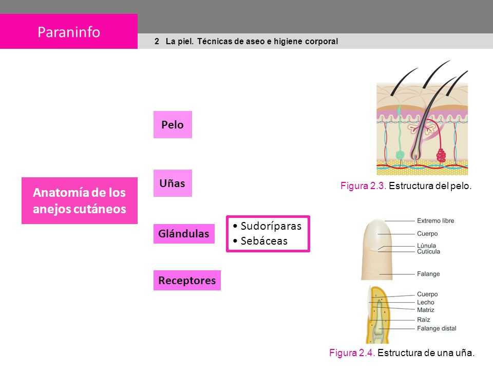 Anatomía de los anejos cutáneos