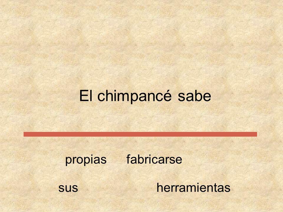 El chimpancé sabe propias fabricarse sus herramientas