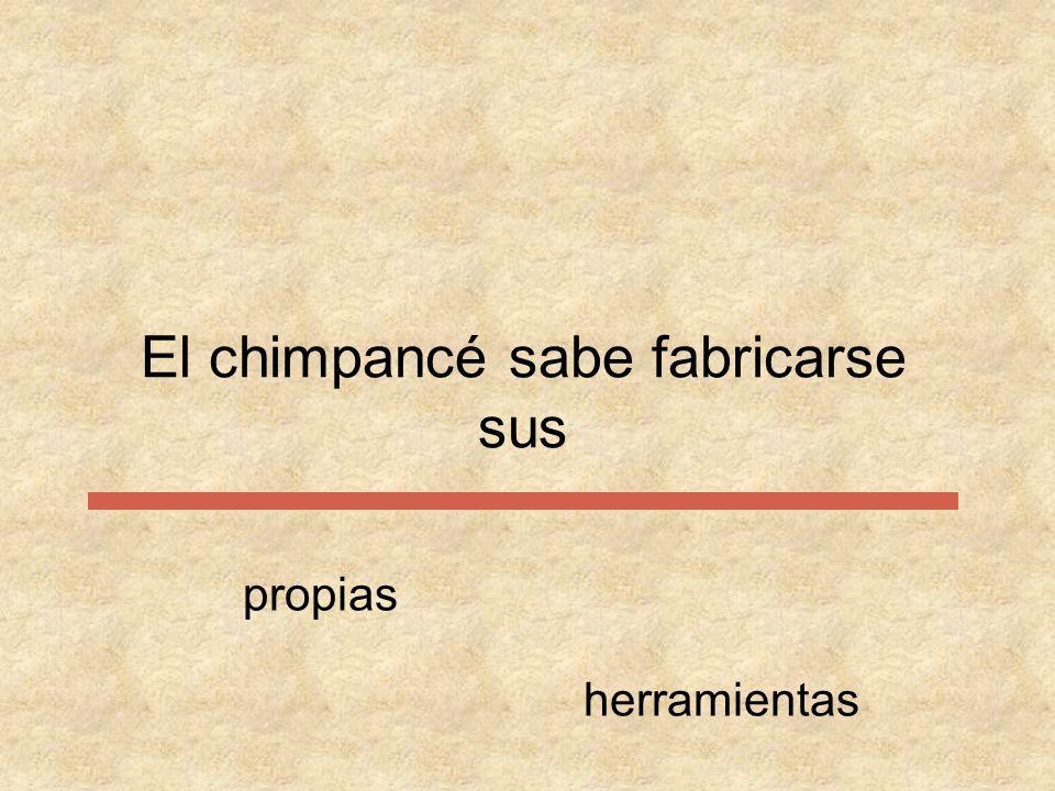 El chimpancé sabe fabricarse