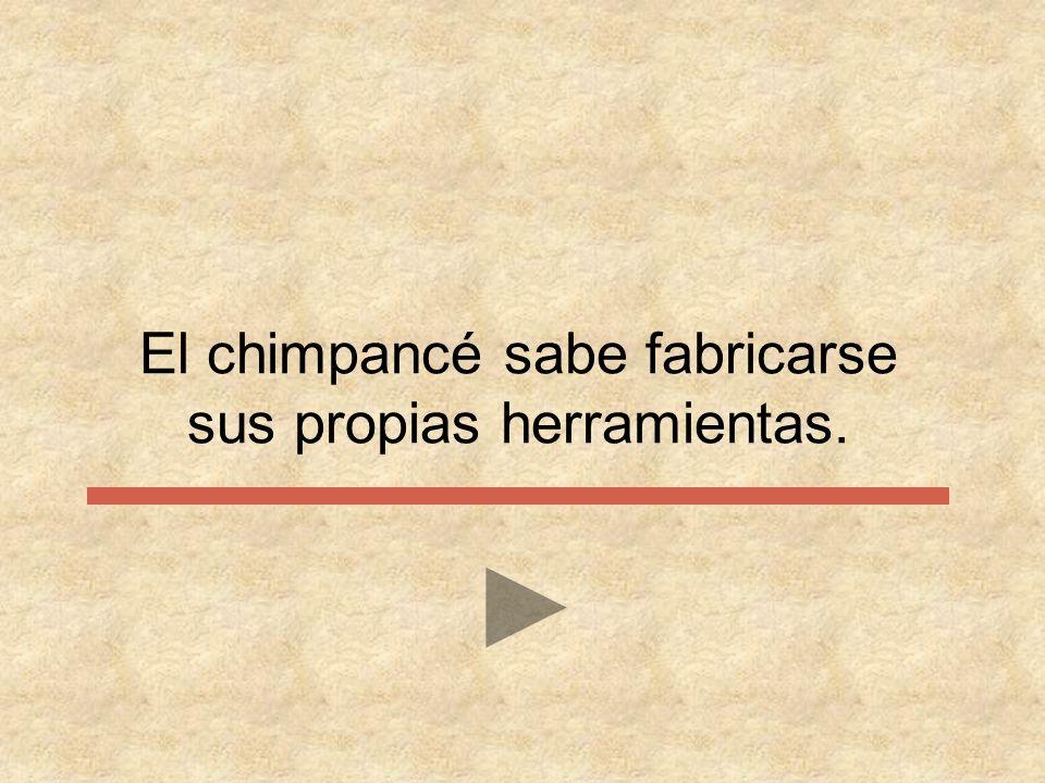 El chimpancé sabe fabricarse sus propias herramientas.
