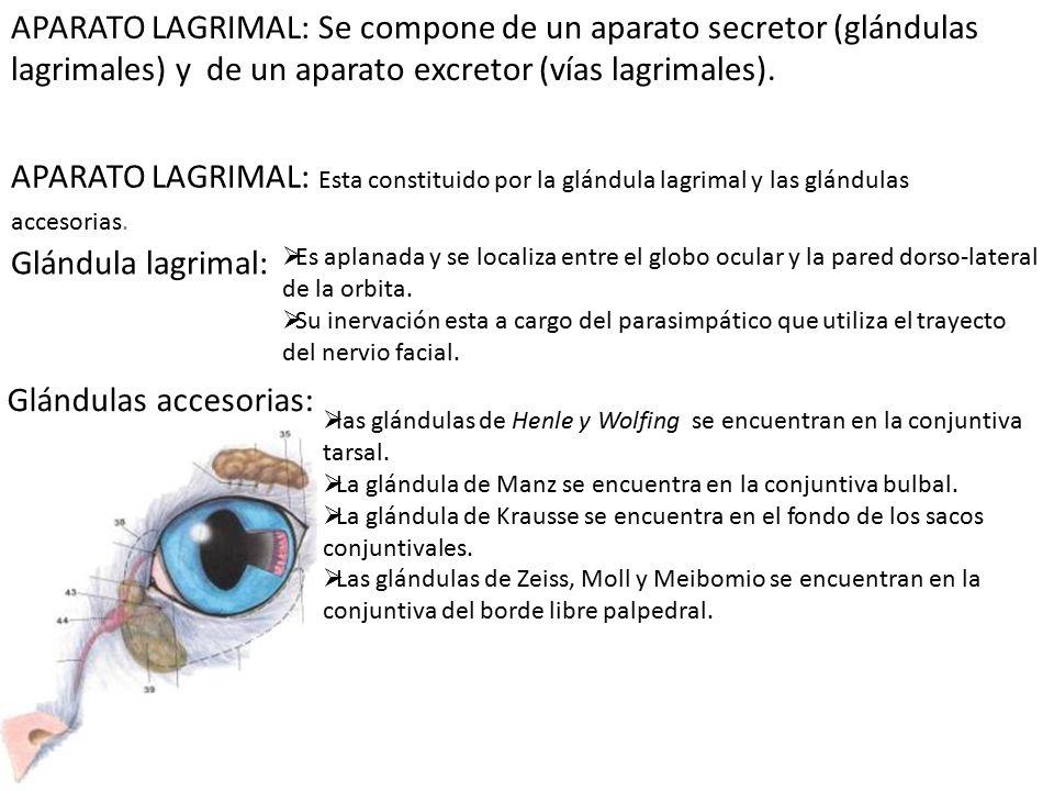 Excepcional Anatomía Del Aparato Lagrimal Galería - Imágenes de ...