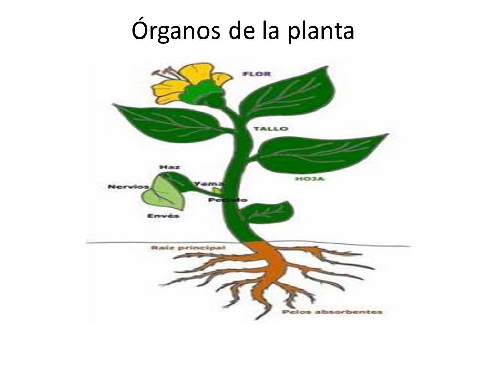 Plantas ppt video online descargar for Plantas fundamentales