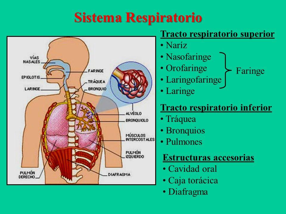 Contemporáneo Inferior Del Sistema De Anatomía Respiratoria ...