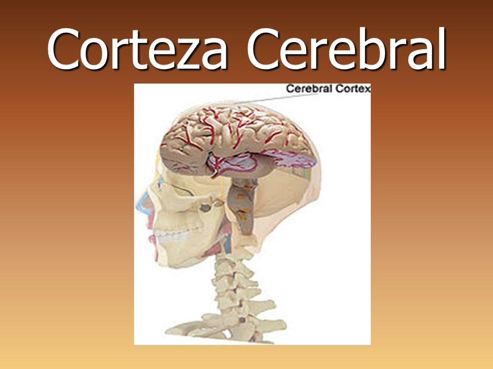 Corteza Cerebral. - ppt video online descargar