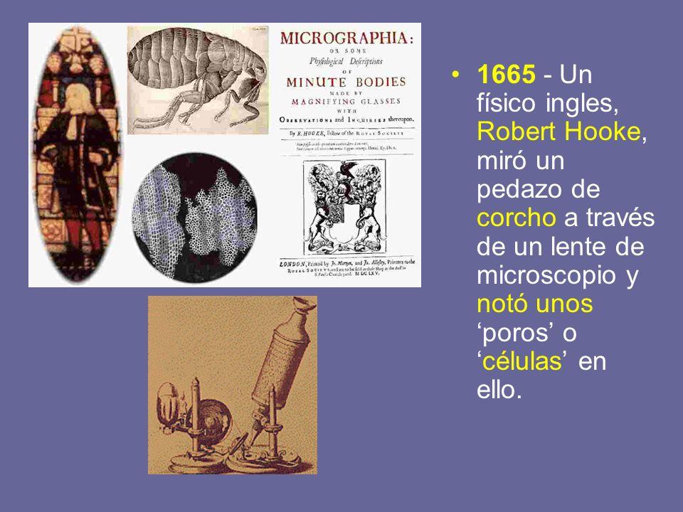 1665 - Un físico ingles, Robert Hooke, miró un pedazo de corcho a través de un lente de microscopio y notó unos 'poros' o 'células' en ello.