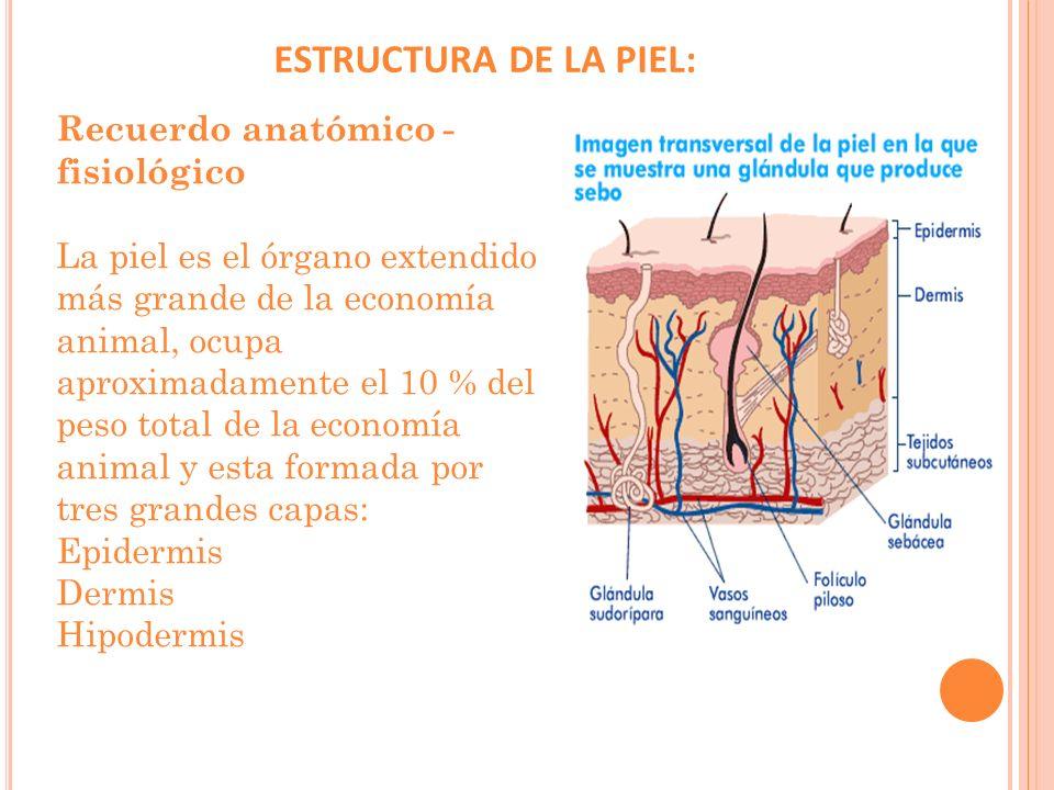 ESTRUCTURA DE LA PIEL: Recuerdo anatómico - fisiológico
