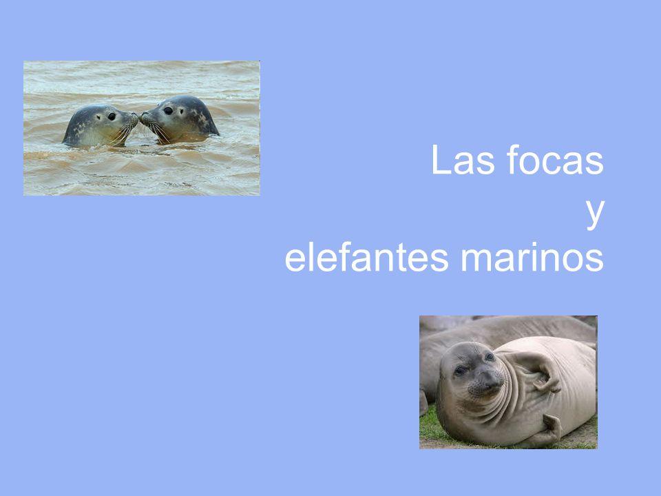 Las focas y elefantes marinos