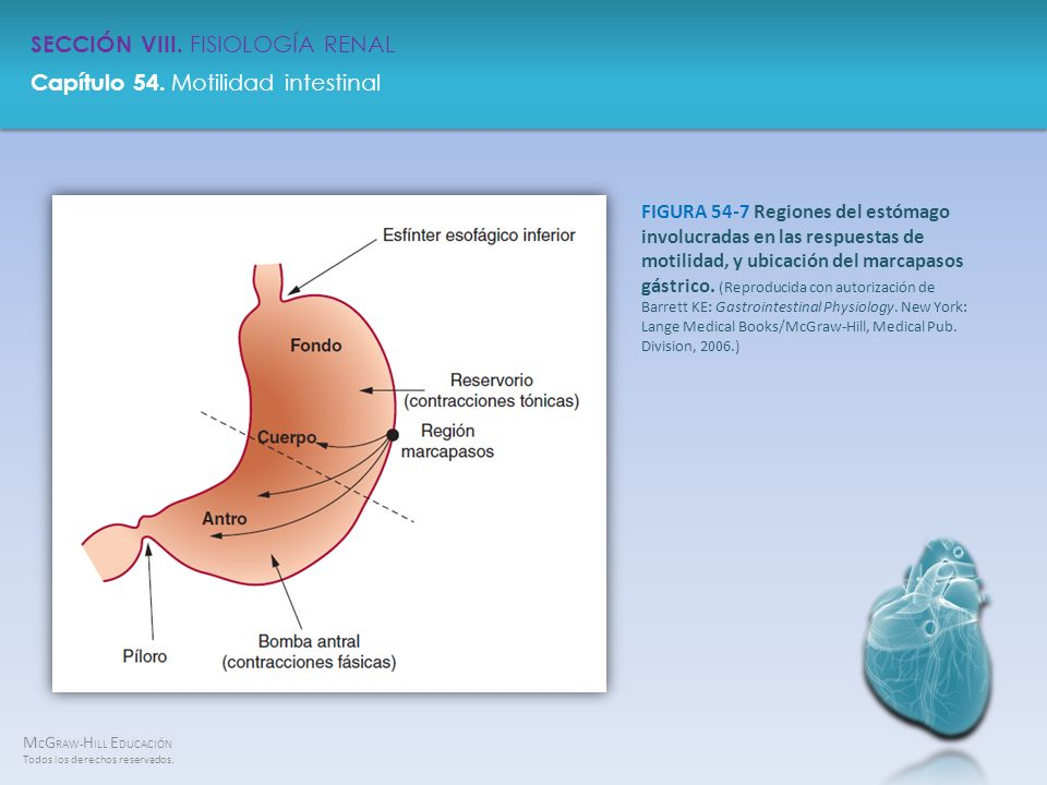 FIGURA 54-7 Regiones del estómago involucradas en las respuestas de motilidad, y ubicación del marcapasos gástrico.