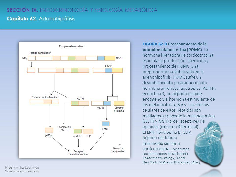 FIGURA 62-3 Procesamiento de la proopiomelanocortina (POMC)