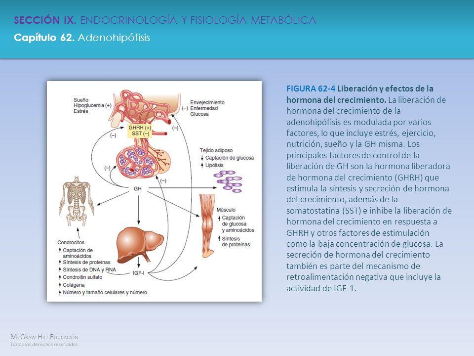 FIGURA 62-4 Liberación y efectos de la hormona del crecimiento