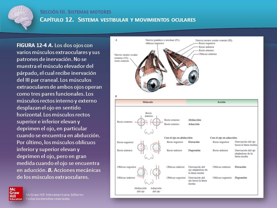 FIGURA 12-4 A. Los dos ojos con varios músculos extraoculares y sus patrones de inervación.