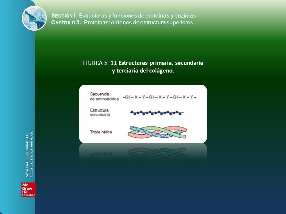 FIGURA 5–11 Estructuras primaria, secundaria y terciaria del colágeno.