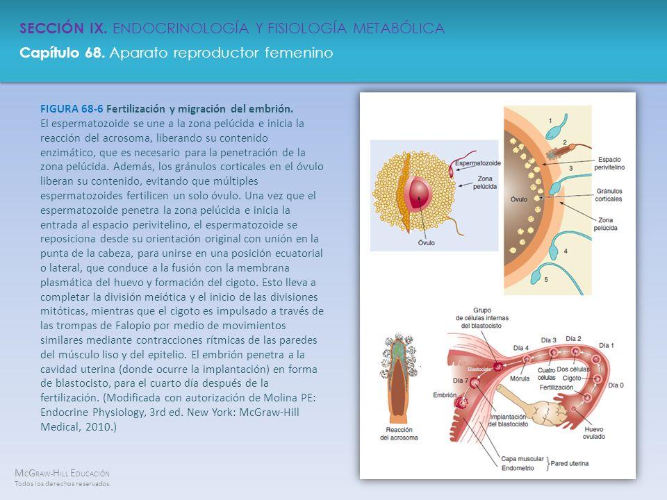 FIGURA 68-6 Fertilización y migración del embrión